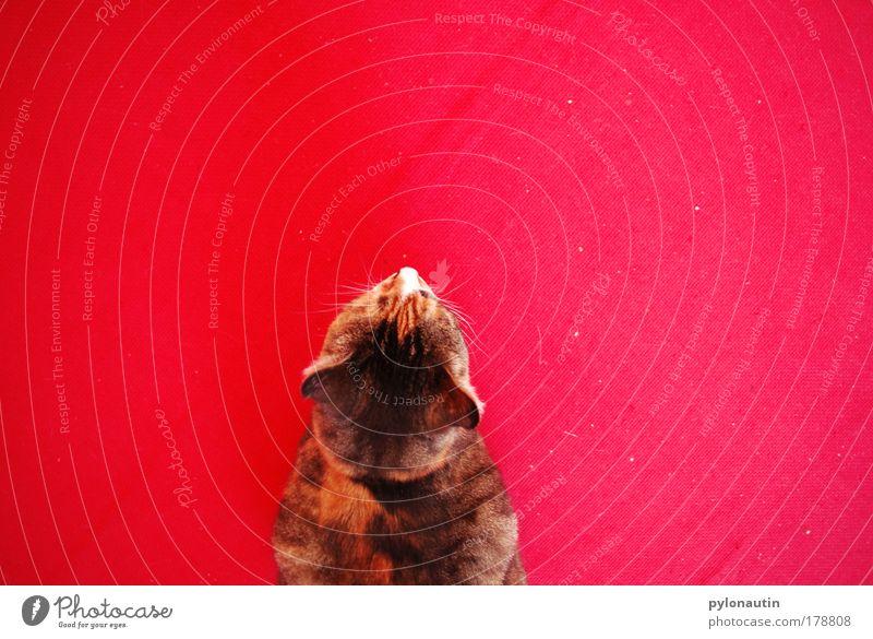 Red Cat II Katze rot Teppich Tier Vogelperspektive Schnurrhaar Hauskatze Ohr Fell Haustier Miau