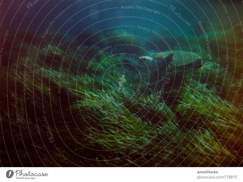 green turtle blau grün Meer Tier dunkel Unterwasseraufnahme tauchen Mittelmeer Pflanze Schildkröte Seegras Grüne Meeresschildkörte Ein Tier