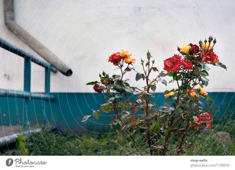 Blumen gießen Farbfoto Textfreiraum oben Zentralperspektive Natur Pflanze Rose Blüte Grünpflanze Wildpflanze Garten Stadtrand Mauer Wand Dachrinne blau rot