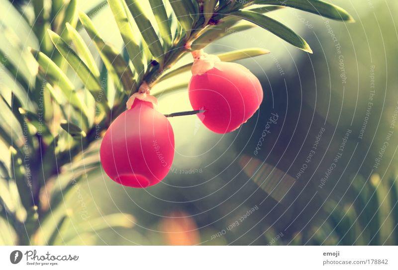 kling klang Natur Baum grün Pflanze rot Sommer Frühling Sträucher Grünpflanze Nadelbaum Farbfleck