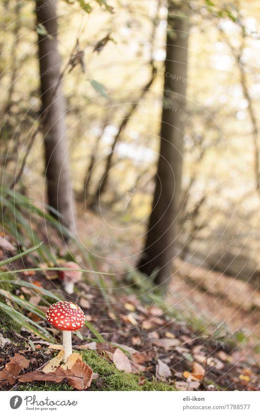 Herbstwald mit Fliegenpilz Natur Pflanze Wald wandern frisch hell natürlich saftig braun gelb gold grün rot Warmherzigkeit Glück Farbfoto Außenaufnahme