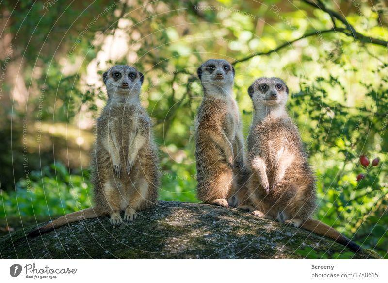 Die drei vom Ausguck... Ferien & Urlaub & Reisen Tourismus Ausflug Natur Pflanze Tier Sommer Baum Sträucher Erdmännchen 3 beobachten Blick achtsam Wachsamkeit