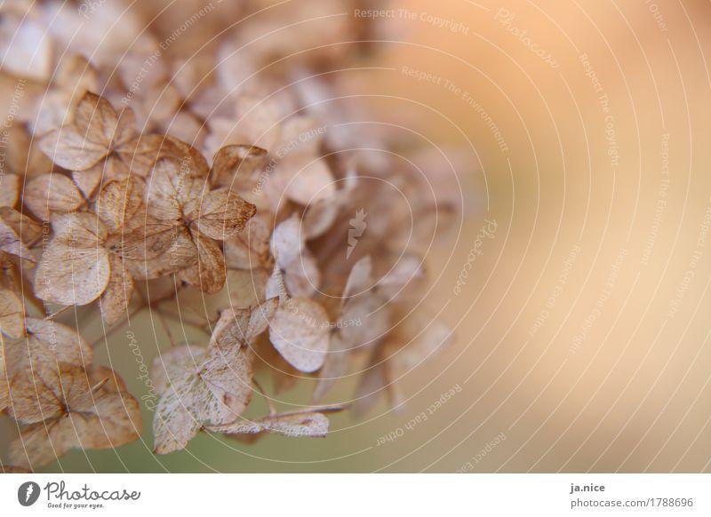 Es war einmal... Natur Pflanze Herbst Blatt alt verblüht dehydrieren kaputt trocken ruhig Ende Vergänglichkeit Pastellton Farbfoto Außenaufnahme Makroaufnahme