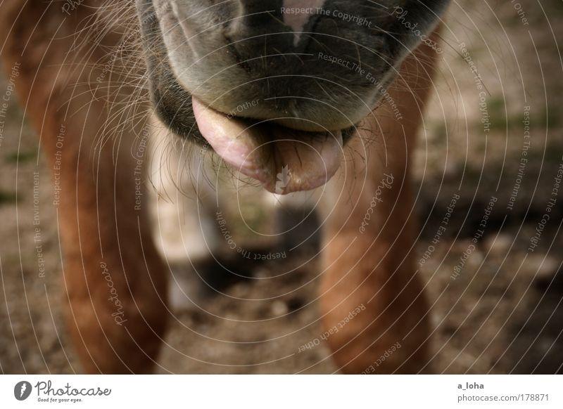 Dich sticht wohl der Hafer! Freude Tier Wiese Bewegung braun warten stehen Pferd Neugier Fell Appetit & Hunger frech Interesse Haustier Zunge Vorfreude