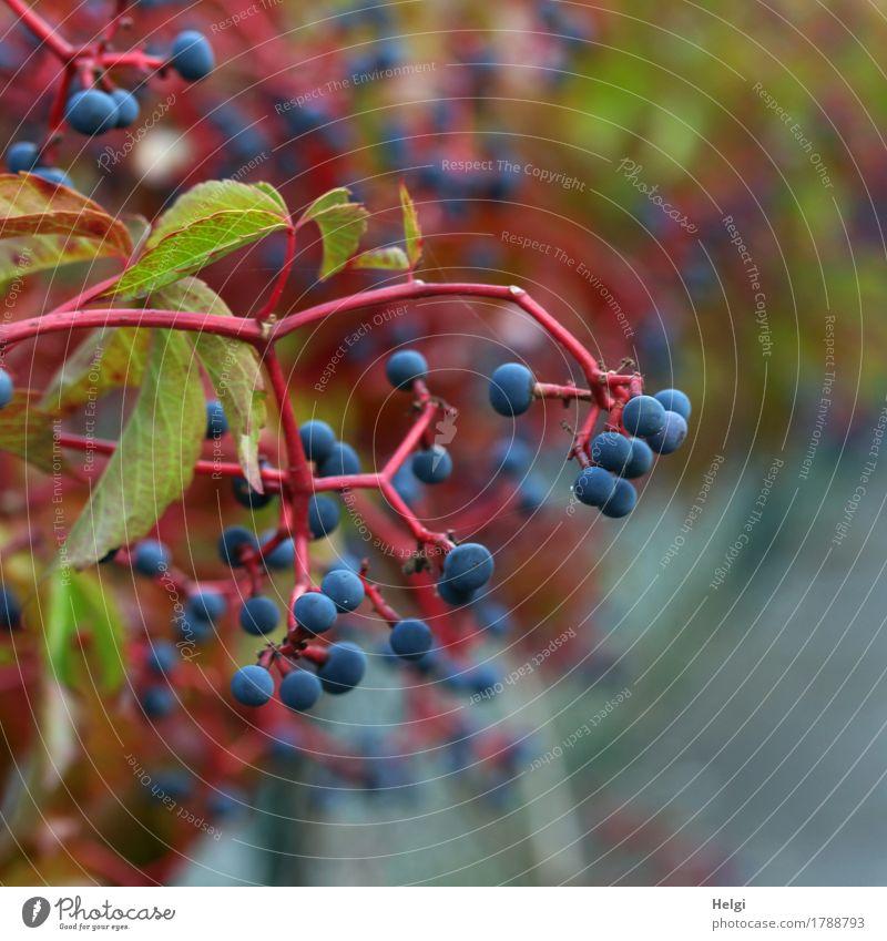 Jungfernrebe Natur Pflanze blau grün rot Blatt Umwelt Leben Herbst natürlich klein Garten grau Wachstum ästhetisch authentisch