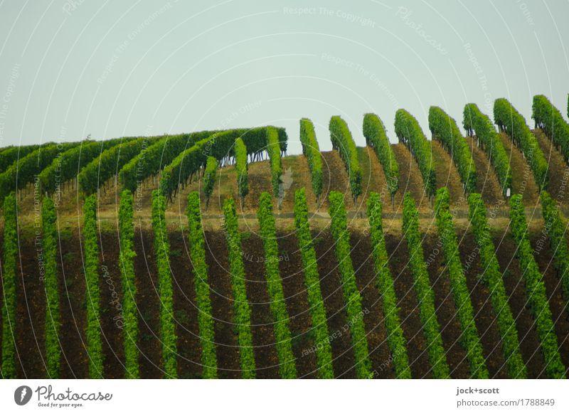 unnatürlich grüne Linien eines Weinbergs Kulturlandschaft Himmel Klima Nutzpflanze Wachstum authentisch hoch lang oben gewissenhaft Ordnungsliebe Genauigkeit