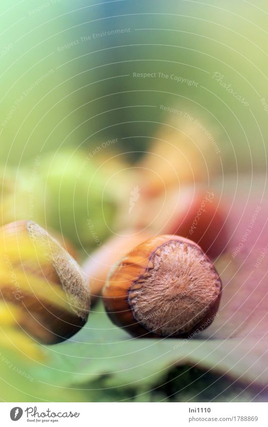 Haselnüsse Natur Pflanze Herbst Schönes Wetter Sträucher Nutzpflanze Garten Park natürlich blau braun mehrfarbig gelb grün orange Vorfreude Nuss Haselnuss