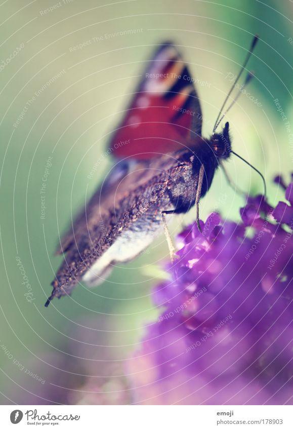 flügelleicht Natur grün Pflanze Tier Frühling Park fliegen violett Flügel zart Schmetterling Fühler filigran