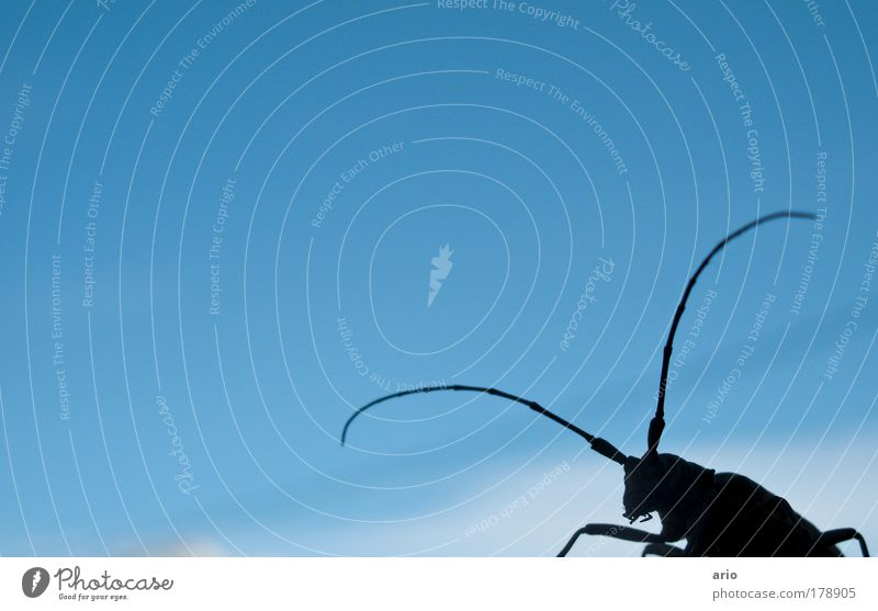 Ja wer kommt denn da? Natur blau Tier elegant Käfer Bockkäfer