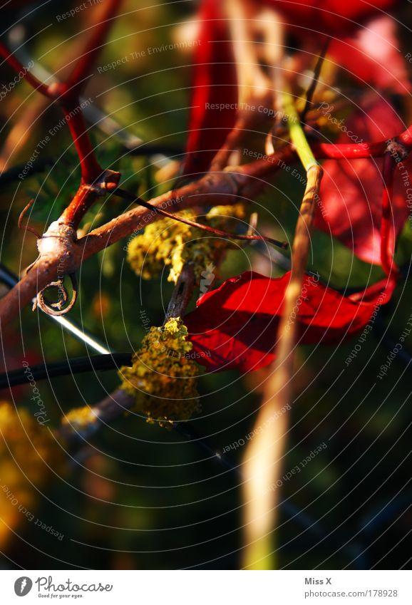 Heckenwirrwarr Natur Baum Pflanze Sommer Blatt Herbst Blüte Park Sträucher trocken Moos durcheinander Herbstlaub herbstlich Wildpflanze