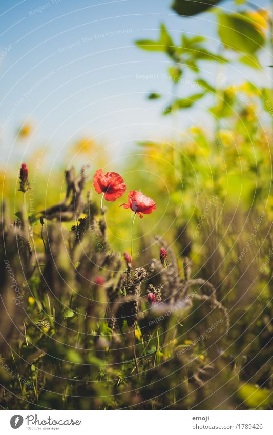 Mohnblume Natur Pflanze Sommer Blume rot Umwelt natürlich Schönes Wetter Mohn