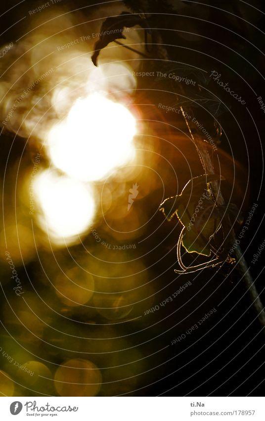 Licht und Efeu Farbfoto Gedeckte Farben Außenaufnahme Menschenleer Textfreiraum unten Abend Schatten Kontrast Silhouette Sonnenlicht Sonnenstrahlen Gegenlicht