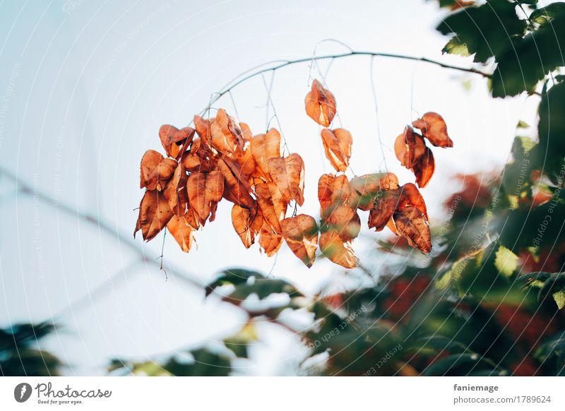 lampions Umwelt Natur Pflanze Himmel Schönes Wetter ästhetisch Herbst herbstlich Lampion orange Zweig Zweige u. Äste Schmuck Südfrankreich Provence Blatt