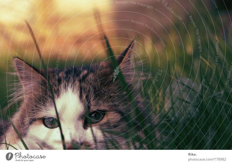 Versteckspiel. Natur grün ruhig Einsamkeit Tier Leben Wiese Freiheit Umwelt Gras träumen Stimmung Katze liegen Perspektive Sicherheit
