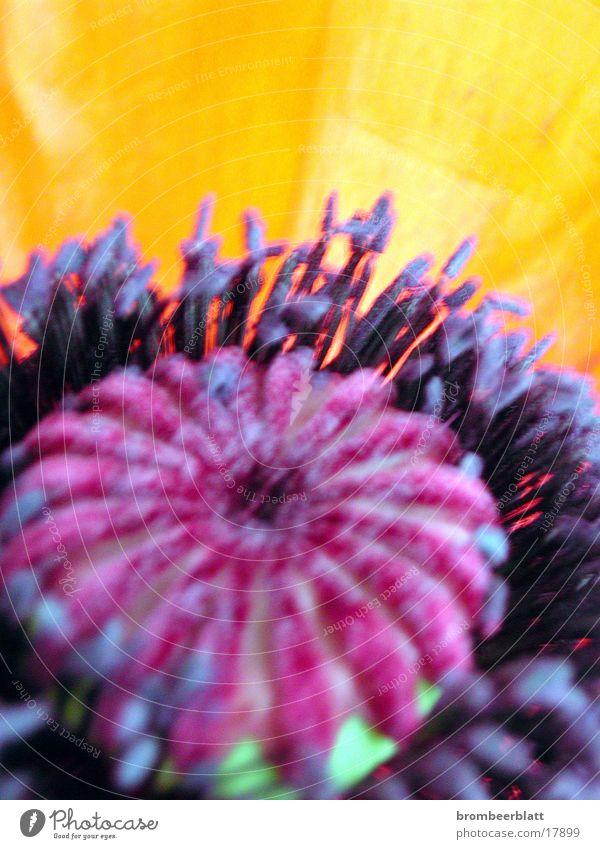 Mohnblühte Natur Blume Blüte orange