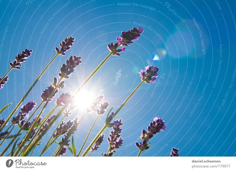 tschüss Sommer Sonne blau Blüte Wärme Duft Schönes Wetter Lavendel Heilpflanzen Wolkenloser Himmel