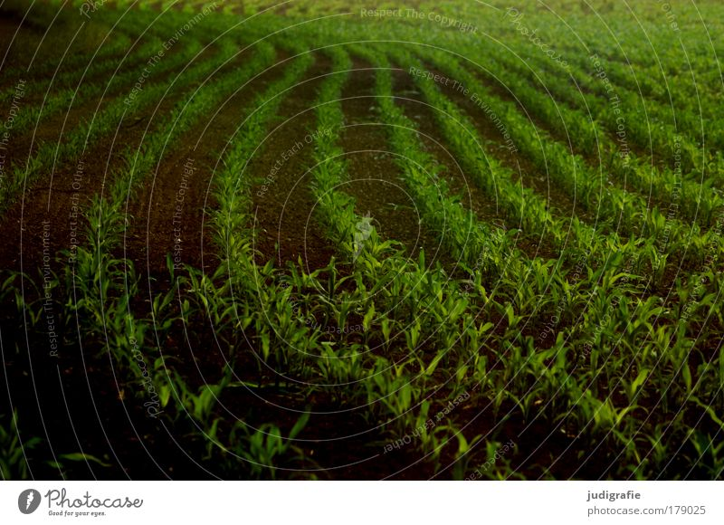 Acker Farbfoto Außenaufnahme Tag Lebensmittel Pflanze Nutzpflanze Feld Wachstum dunkel grün Ordnung Landwirtschaft Mais Ackerbau Landleben Reihe Schwung Kurve