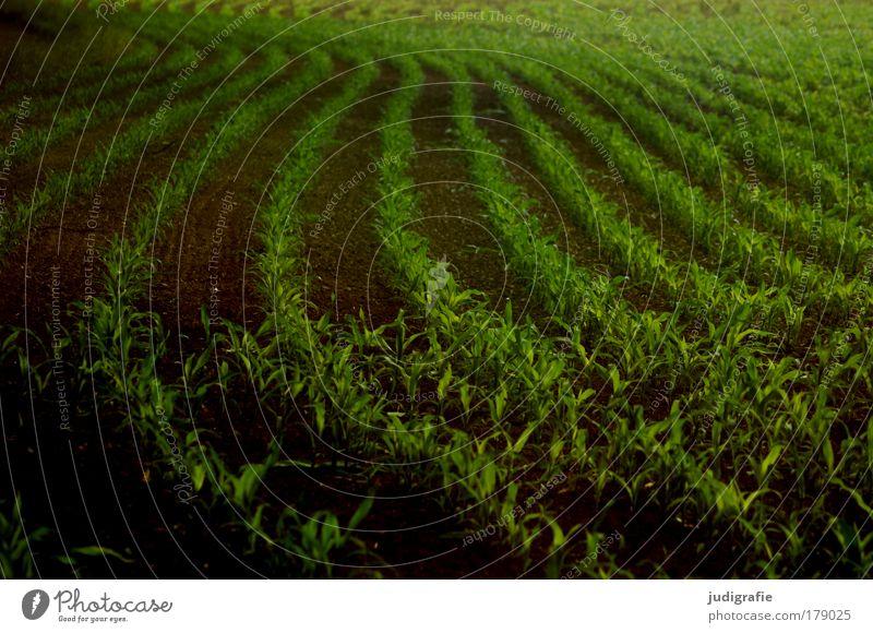 Acker grün Pflanze dunkel Lebensmittel Feld Ordnung Wachstum Landwirtschaft Reihe Ernte Kurve Schwung Landleben Mais Nutzpflanze