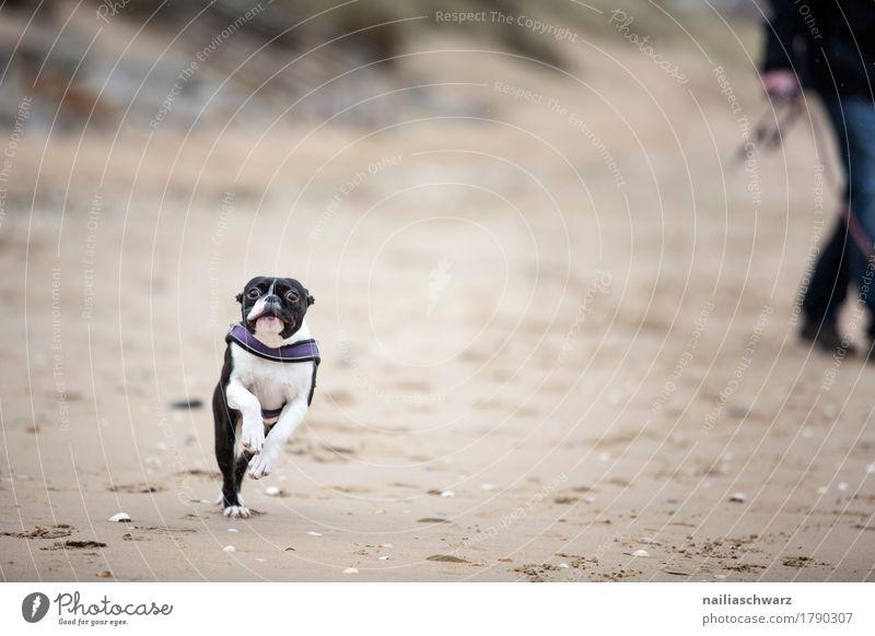 Boston Terrier am Strand Hund Natur Erholung Tier Freude schwarz natürlich Küste Glück braun Sand springen Fröhlichkeit laufen niedlich