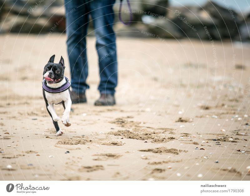 Boston Terrier am Strand Freude Körper Beine Sand Küste Seeufer Tier Haustier Tiergesicht 1 Schwimmen & Baden Erholung genießen laufen rennen Spielen springen