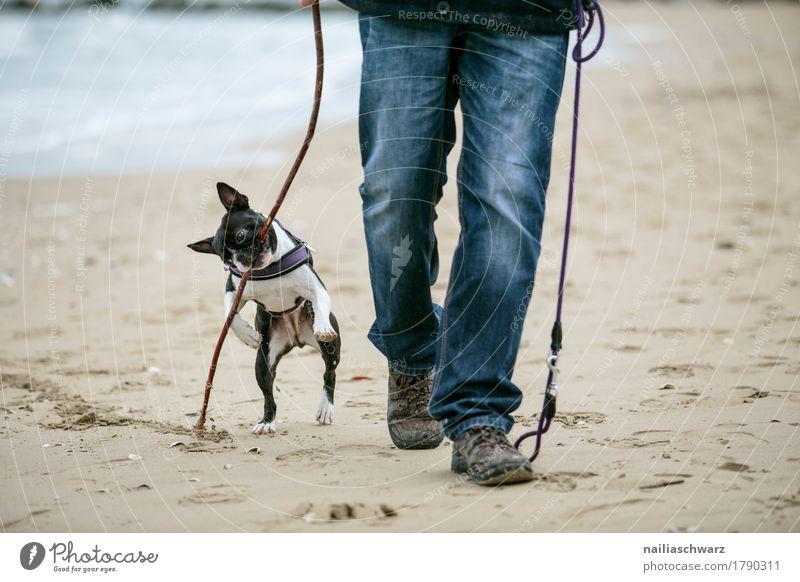 Boston Terrier spielt am Strand Mensch Hund Ferien & Urlaub & Reisen Mann blau Tier Freude Erwachsene Beine Spielen Glück grau Sand Freundschaft springen