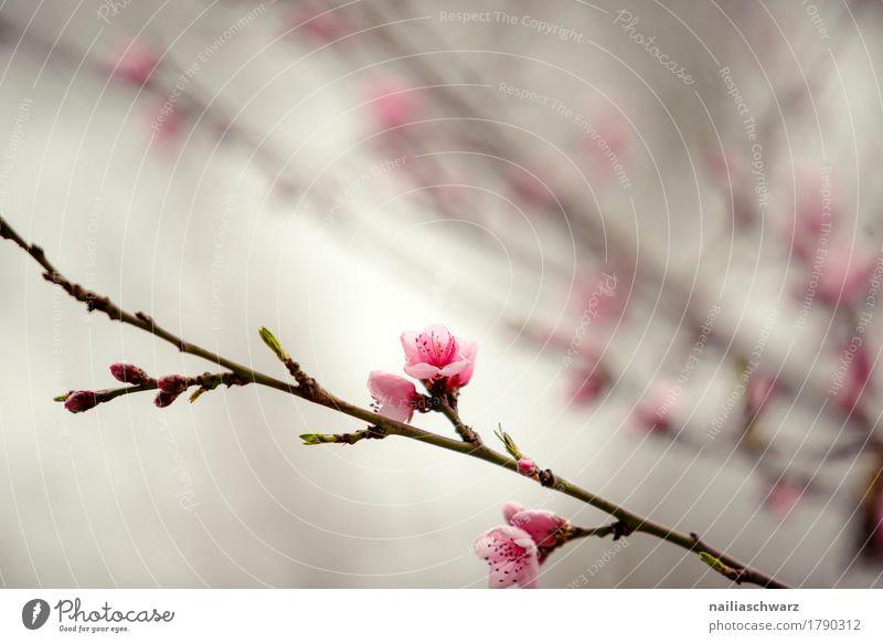 Kirschbaum im Frühling Umwelt Natur Pflanze Baum Blume Blüte Nutzpflanze Blühend Duft springen Wachstum natürlich braun rosa Stimmung Frühlingsgefühle friedlich