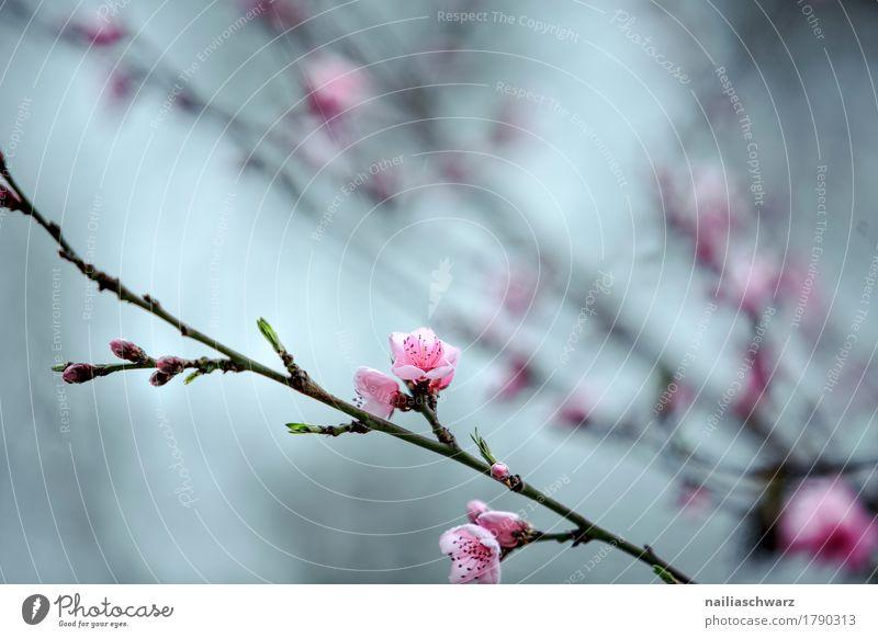 Frühling Umwelt Natur Pflanze Baum Blume Blatt Blüte Nutzpflanze Ast Kirsche Kirschblüten Kirschbaum Garten Park Wiese Blühend Duft springen einfach natürlich