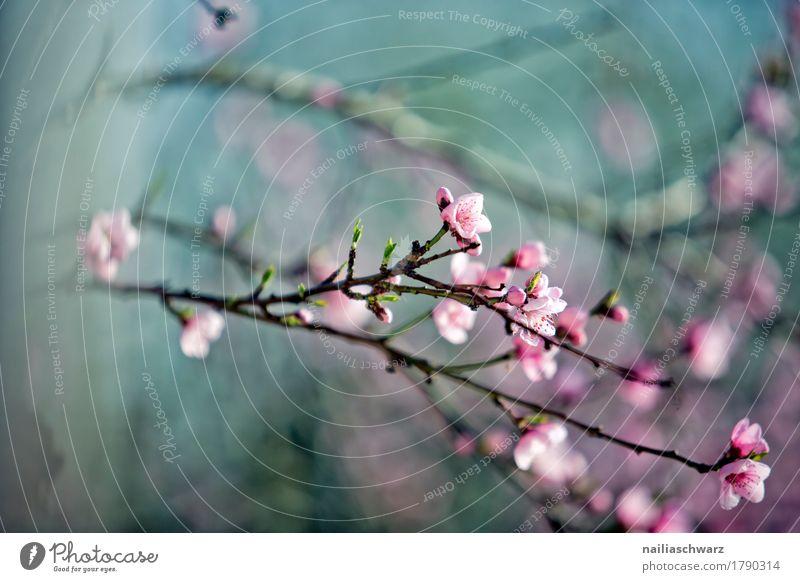 Kirschbaum im Frühling Natur Pflanze Baum Blüte Nutzpflanze Obstbaum Zweig Ast Garten Park Wiese Blühend Duft springen Wachstum einfach natürlich schön blau