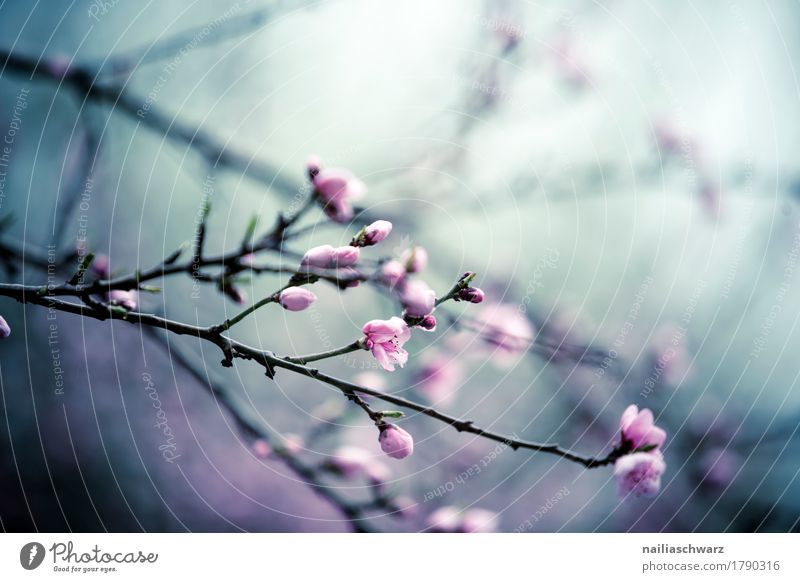 Kirschbaum in Frühling Umwelt Natur Pflanze Sommer Baum Blume Blüte Nutzpflanze Kirschblüten Kirsche Ast Zweige u. Äste Garten Park Blühend Duft springen frisch