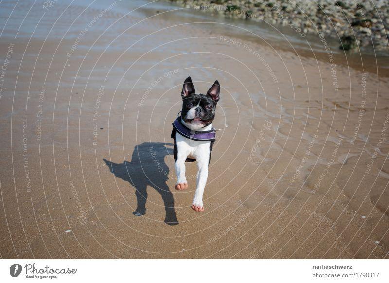 Boston Terrier am Strand Ferien & Urlaub & Reisen Natur Landschaft Sand Küste ocean Atlantik Tier Haustier Hund genießen rennen Fröhlichkeit Gesundheit