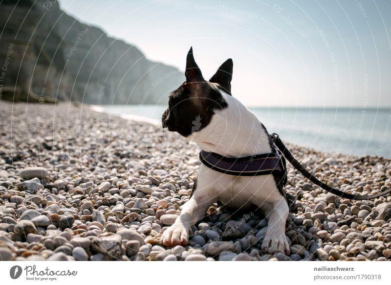 Boston Terrier am Strand Ferien & Urlaub & Reisen Umwelt Natur Sand Horizont Schönes Wetter Küste Seeufer Bucht Meer Atlantik Tier Haustier Hund boston Terrier