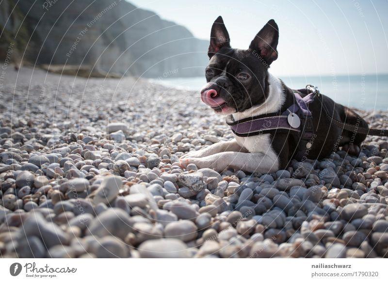 Boston Terrier am Strand Natur Hund Ferien & Urlaub & Reisen Meer Landschaft Tier Strand Umwelt Küste Spielen Felsen Zusammensein Freundschaft Europa Schönes Wetter beobachten