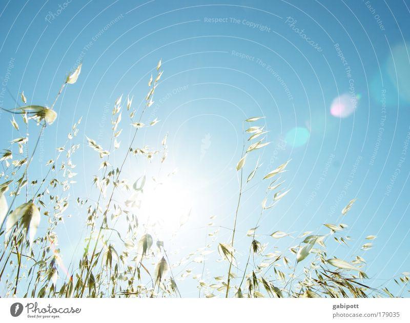 Leichtigkeit Natur weiß blau Pflanze Sommer Wiese Gras Glück Wärme Landschaft Luft hell Feld Umwelt gold Ernte