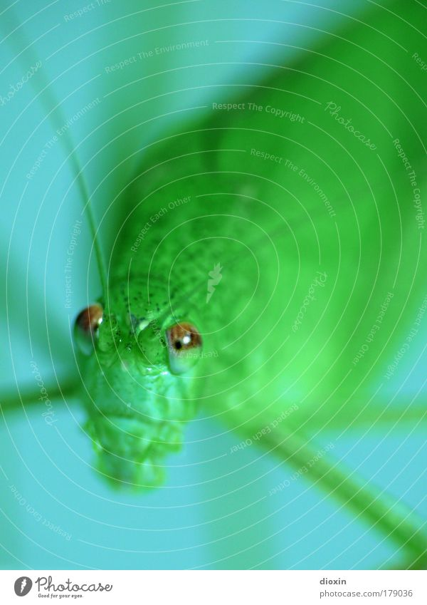 Der Besucher Natur grün blau Auge Tier klein Umwelt nah Tiergesicht Insekt Wildtier Fühler Kapitalwirtschaft Heuschrecke Finanzkrise gefräßig