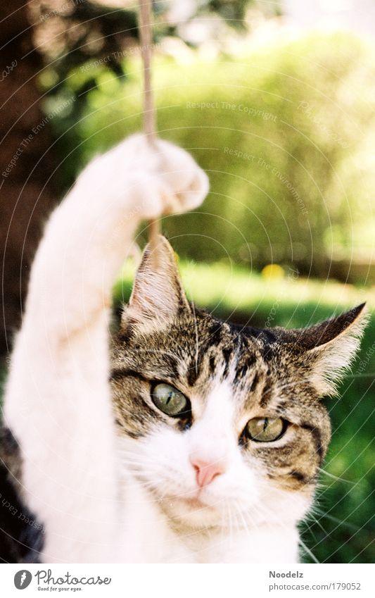 Cat Hangover Farbfoto Außenaufnahme Tag Tierporträt Blick in die Kamera Haustier Katze Tiergesicht Pfote 1 fangen festhalten hängen frech braun gelb grün