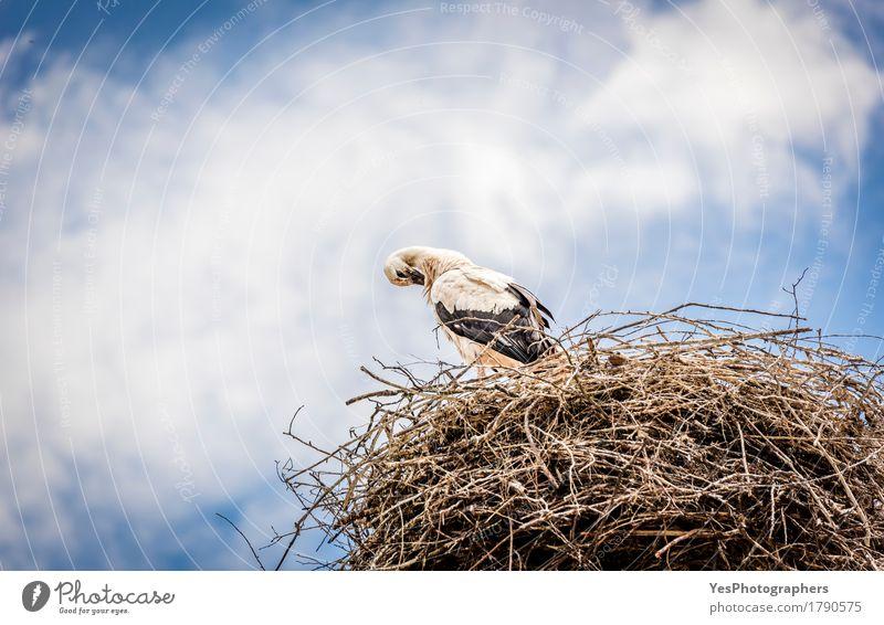 Weißer Storch gegen blauen Himmel Wolken Gewitterwolken Sommer Tier Wildtier Vogel 1 lang wild Tiere Hintergrund Schnabel wunderschön Vogelfotografie