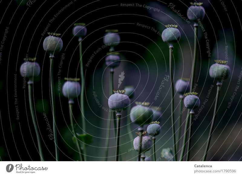 Mohnkapseln vorm schlafen Natur Pflanze blau grün schön Blume schwarz Herbst Garten Stimmung Zusammensein ästhetisch Zukunft Vergänglichkeit Vergangenheit