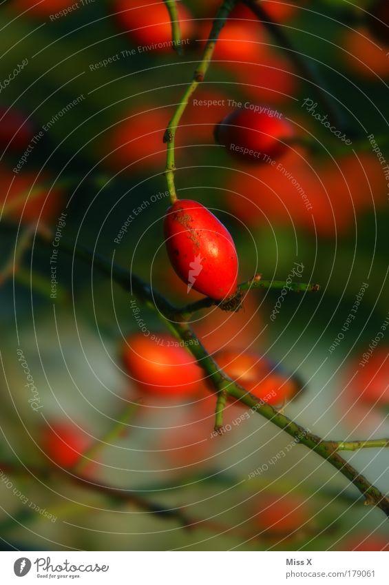 Hagebutte Natur Pflanze Sommer Blatt Herbst Wärme Park Frucht Ausflug wild leuchten Sträucher Tee Schönes Wetter Rose stachelig