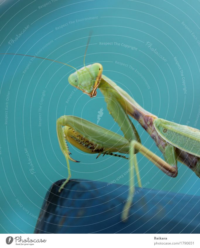 Blick der Gottesanbeterin Tier Wildtier Tiergesicht Insekt beobachten berühren Bewegung krabbeln sportlich außergewöhnlich bedrohlich elegant Erfolg exotisch