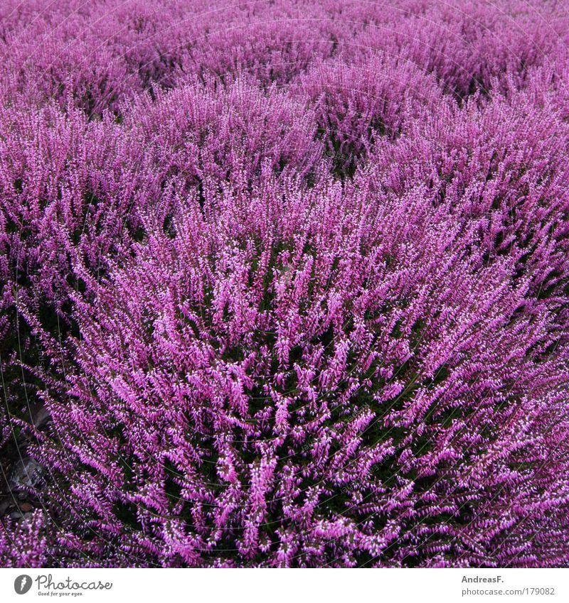 Heide Farbfoto Außenaufnahme Detailaufnahme Umwelt Natur Pflanze Blume Gras Grünpflanze violett rosa Heidekrautgewächse heideblüte Herbst herbstlich