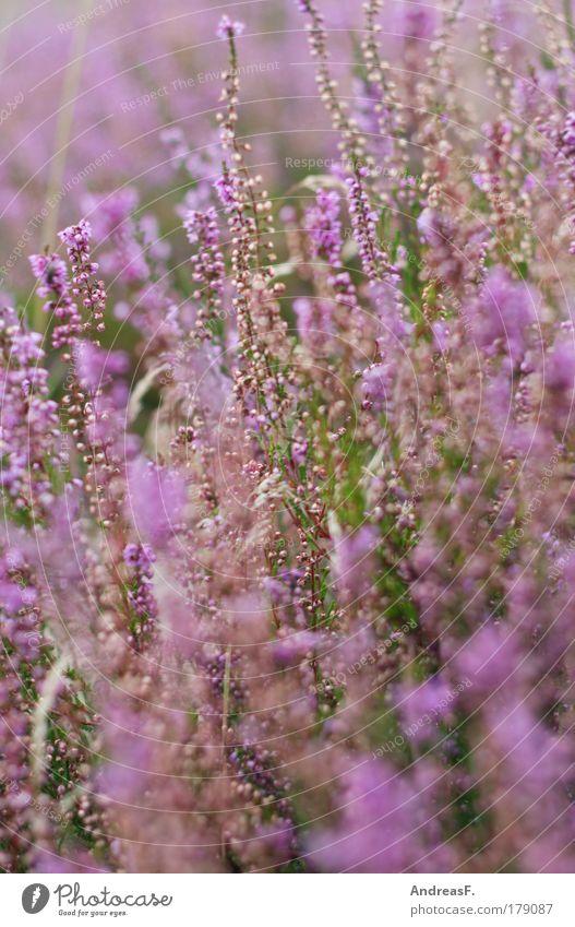 Heide Farbfoto Außenaufnahme Detailaufnahme Tageslicht Umwelt Natur Pflanze Blume Gras Grünpflanze violett rosa Heidekrautgewächse heideblüte Herbst herbstlich