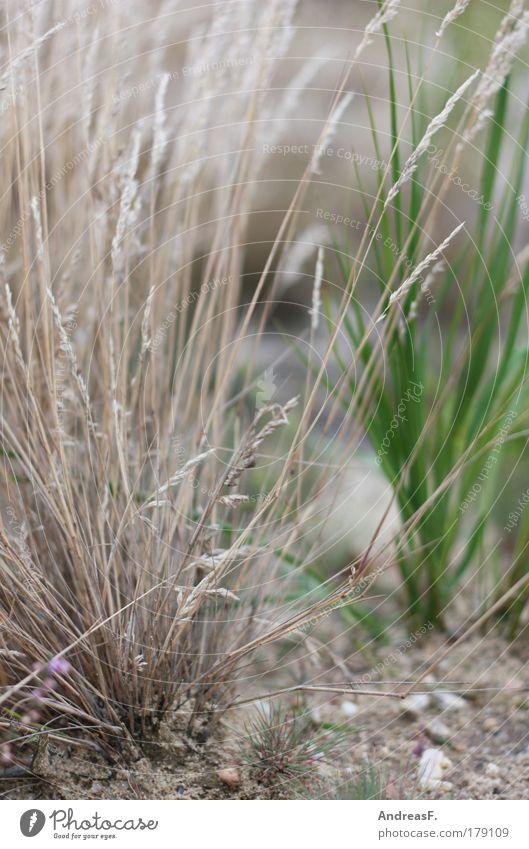 Grasgeflüster Natur Pflanze Wiese Garten Sand Feld Umwelt Erde trocken Dürre Ameise Brandenburg Grünpflanze Heide Gräserblüte