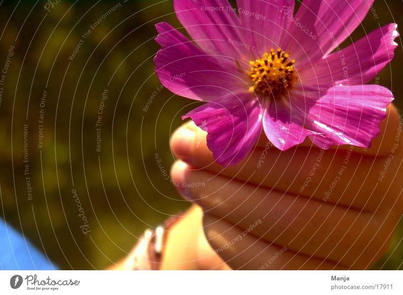 ...frisch gepflückt Kind Hand Blume Blüte rosa