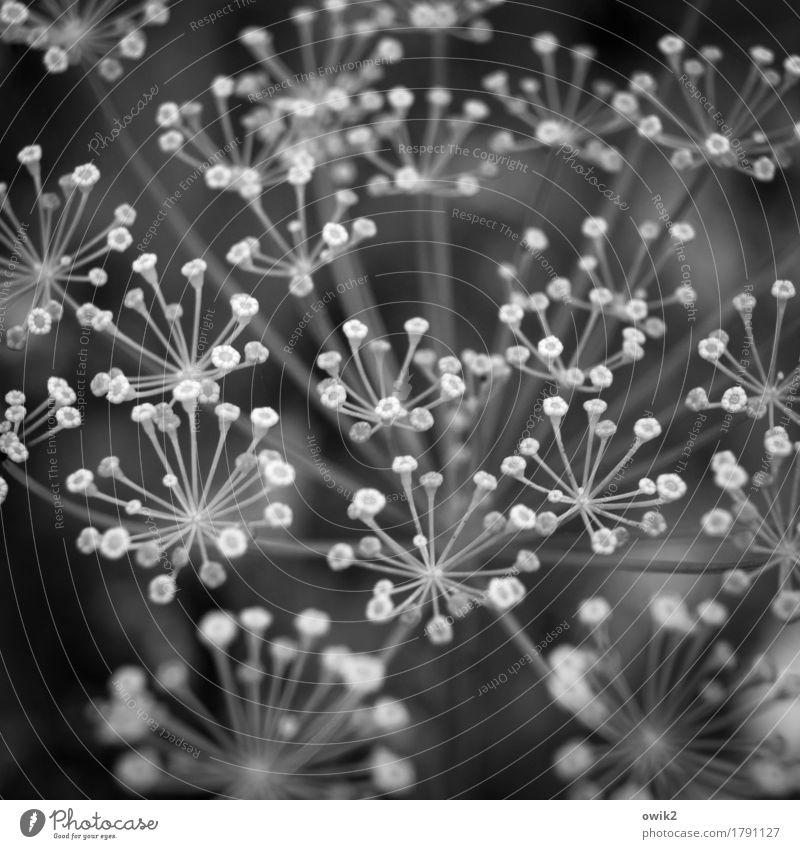 Dilldöldchen Umwelt Natur Pflanze Wildpflanze Doldenblüte Dillblüten dünn authentisch frisch Gesundheit viele zerbrechlich Schwarzweißfoto Außenaufnahme