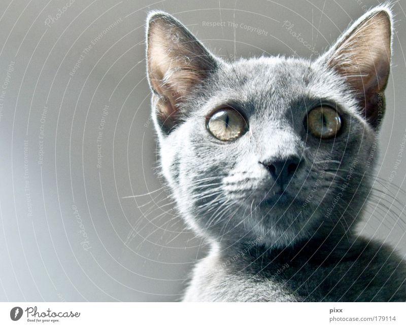 Der Graue Farbfoto Innenaufnahme Textfreiraum links Tag Tierporträt elegant Zoo Umwelt Natur grauhaarig Haustier Katze 1 Tierjunges füttern Blick ästhetisch