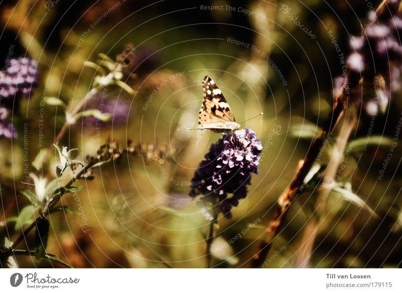 Sweet Butterfly Natur grün Pflanze Sommer Tier gelb Landschaft fliegen violett Flügel Schmetterling