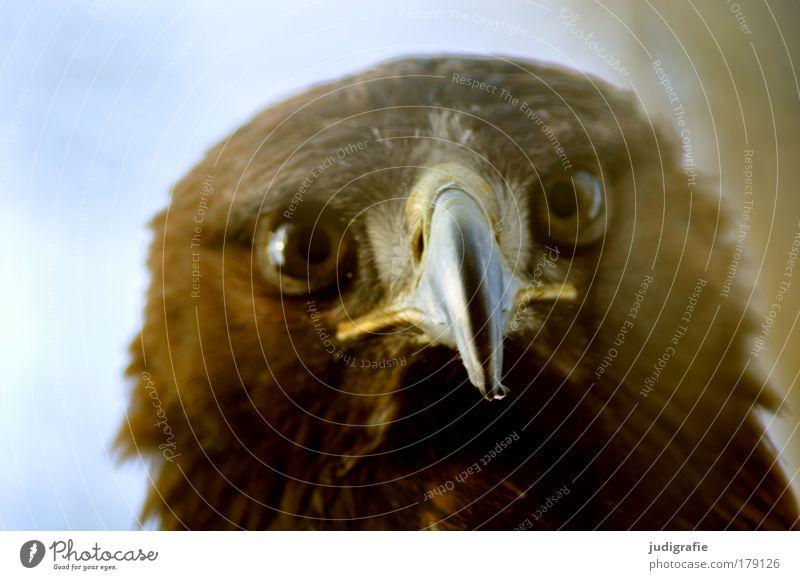 Räuber Farbfoto Außenaufnahme Tag Tierporträt Blick Blick in die Kamera Wildtier Vogel Tiergesicht 1 natürlich Neugier Kontakt Steppenadler Schnabel Greifvogel