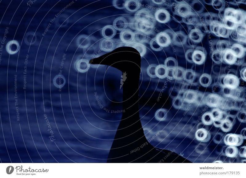 Graugans blau ruhig Tier Zufriedenheit elegant ästhetisch Gans Wildtier Unschärfe Objektiv Geborgenheit Tierliebe Spiegellinsenobjektiv (Effekt)