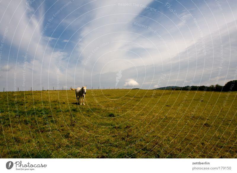 Solopferd Himmel Sommer Einsamkeit Wiese Gras Landschaft warten Pferd Rasen stehen Landwirtschaft Weide Metzger Tier Schlachthof Pferdezucht