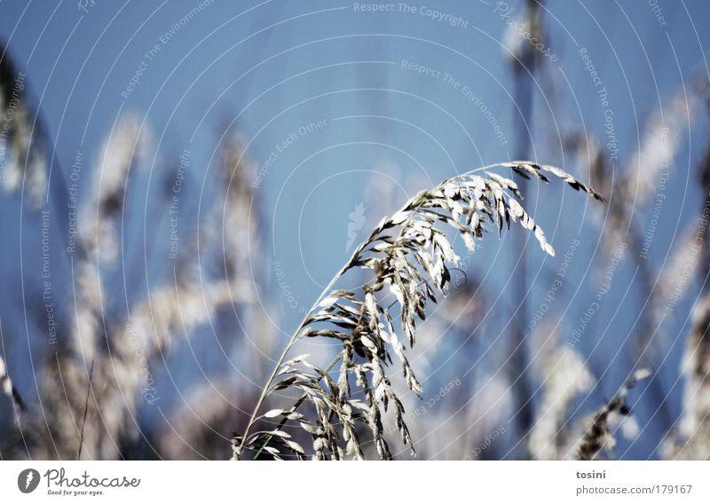 Halm Farbfoto Außenaufnahme Detailaufnahme Menschenleer Textfreiraum links Textfreiraum oben Tag Unschärfe Schwache Tiefenschärfe Umwelt Natur Pflanze Himmel